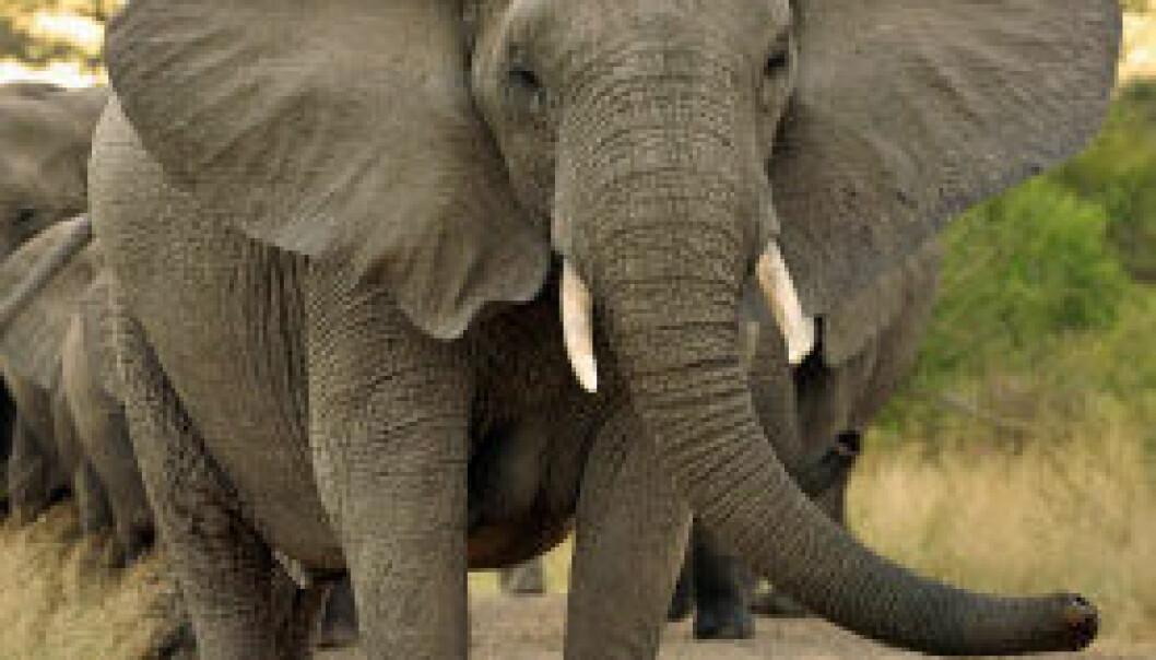 Afrikansk elefant. (Foto: iStockphoto) iStockphoto