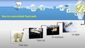 Figur 2: Hvordan de ulike organismene på og under havisen i Polhavet påvirker hverandre.