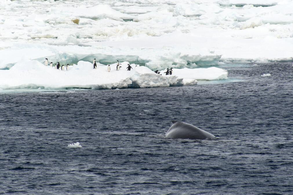 Til tross for de ugjestmilde forholdene er dyrelivet rikt i Sørishavet. Mange av dem overlever direkte eller indirekte på planteplankton.