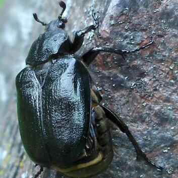 Dette er det første bildet som er tatt av en eremitt-bille i Norge. Den ble funnet på en gravplass i Tønsberg. (Foto: (Magne Flåten))