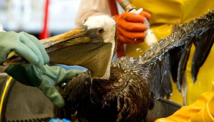 Utslippet fra Deepwater Horizonulykken påvirket livet i havet og hundrevis av fugler slik som denne pelikanen.