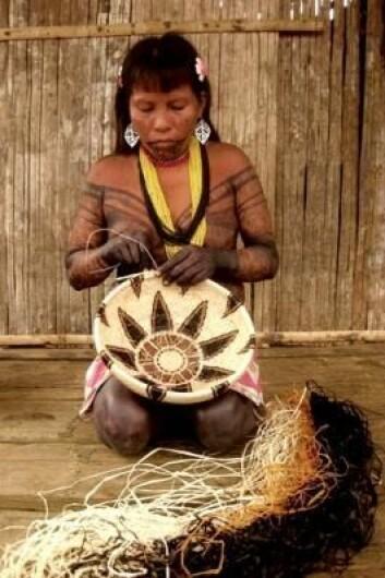 Stammesamfunnene i det nordvestlige Sør-Amerika er avhengige av palmeblader, som de bruker til å flette kurver av. Her er det Emberá-folket i Rio Purricha-reservatet som fletter kurver som senere blir solgt på markedet. (Foto: Rodrigo Cámara-Leret)