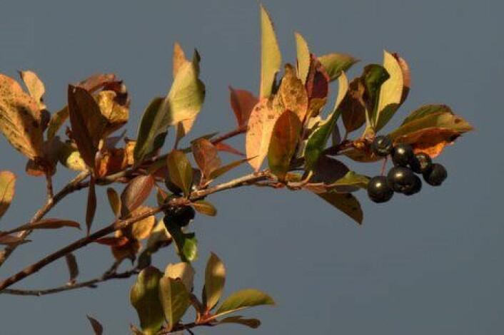 Svartsurbær er modne i september. (Foto: Susanne Friis Pedersen)