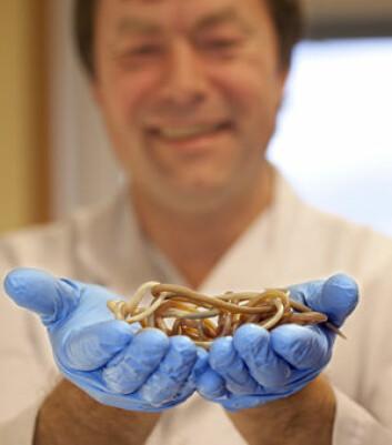 Parasittolog Tore Lier holder frem noen eksemplarer av spolorm. Denne ormen lever i tarmene våre, og er mer vanlig enn vi liker å tro. Nordmenn kommer hjem med spolorm etter ferier, og du trenger ikke å dra lenger enn litt nedover Europa før du får orm. (Foto: Stig Brøndbo)