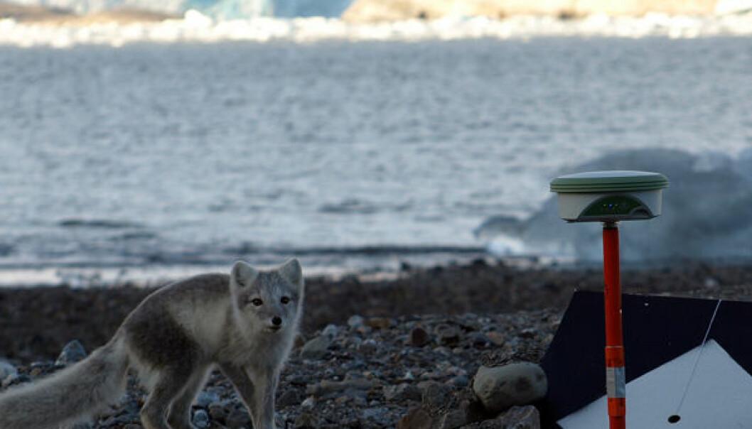 """En polarrev har fattet interesse for et GPS-apparat som måler Kronebreen på Svalbard"""