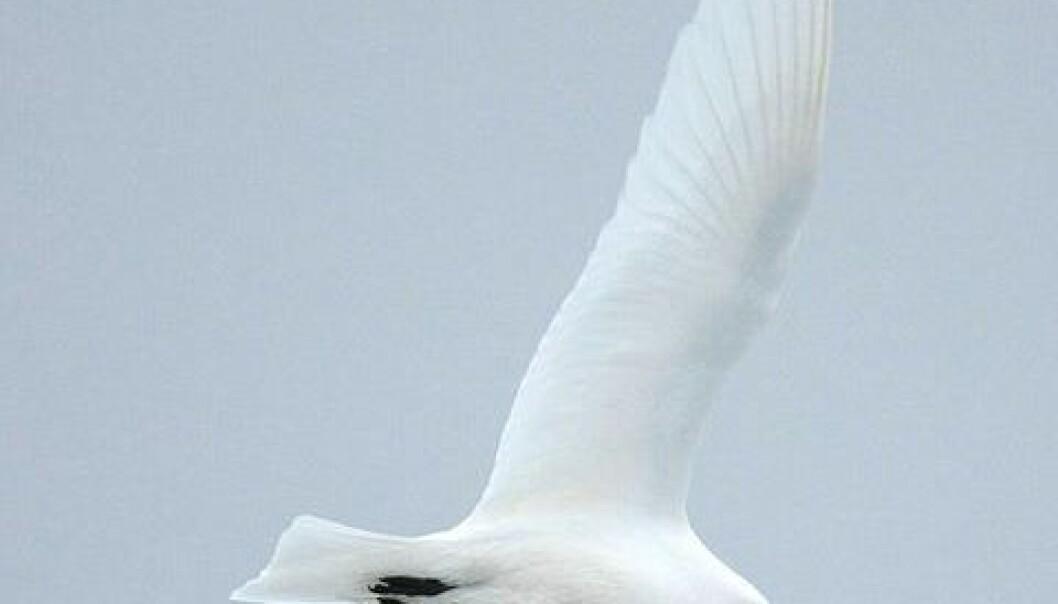 Høge nivå av miljøgifter har ført til tynnare eggeskal hos den arktiske ismåken. Wikipedia Commons