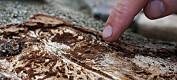 For lite kunnskap i skolen om hvor viktig døde trær er for insektene