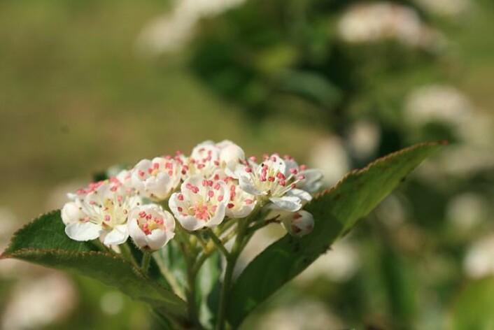 Blomst av svartsurbær, av arten aronia-melanocarpa. (Foto: Wikimedia commons)