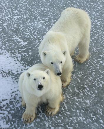 Beth Shapiro og kollegaene konkluderer med at alle dagens isbjørner stammer fra møtet mellom en isbjørn og en brunbjørn som levde i områdene nær Storbritannia og Irland like før sist istid. (Foto: Daniel J. Cox/NaturalExposures.com)