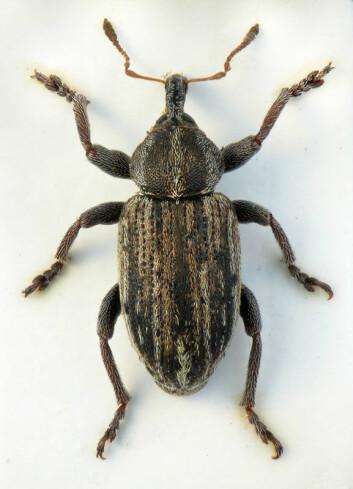 Det mest interessante funnet under oppstartsmøtet for Nordic Coleoptera Group var kanskje denne snutebillen, en Hypera fornicata, som i tilfelle er ny for Norge. (Foto: Christoffer Fägerström)