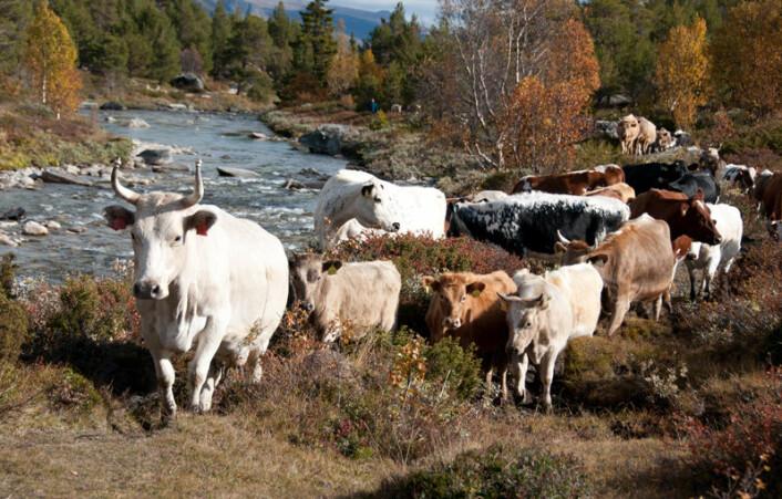 Vestlandsk fjordfe er en av de norske tradisjonelle husdyrrasene. Disse husdyrrasene er en del av norsk kulturhistorie og kan dessuten ha gener som vi kan få god bruk for i framtida. Vestlandsk fjordfe hører tradisjonelt hjemme på Vestlandet mellom Hordaland og Møre. (Foto: Anna Rehnberg)