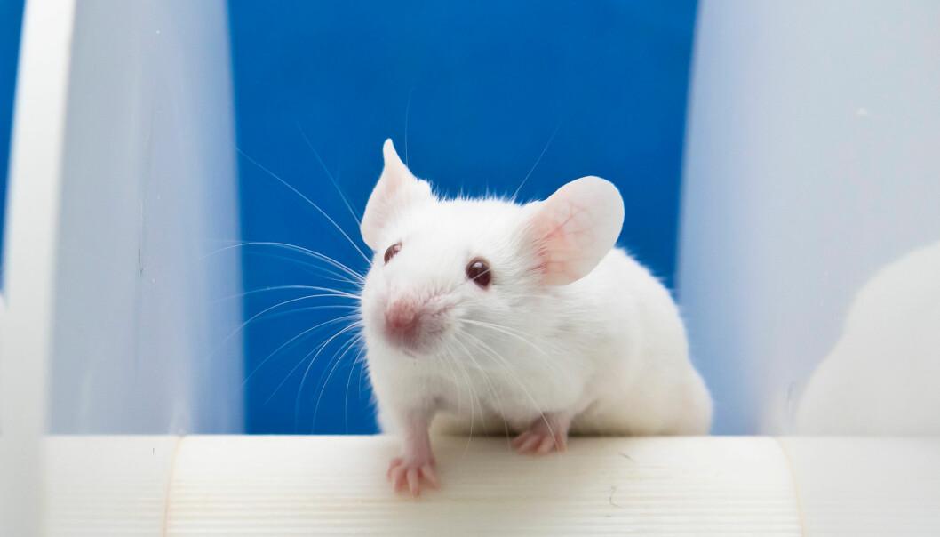 Endringer i tarmfloraen hos forsøksmus påvirket produksjonen av et enzym som er koblet til dannelsen av plakk i hjernen.