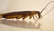 Denne amerikanske kakerlakken renser følehornene sine med munnen. Dermed kan han lukte seg frem til damer som er villige til å lage barn med ham. Ayako Wada-Katsumata