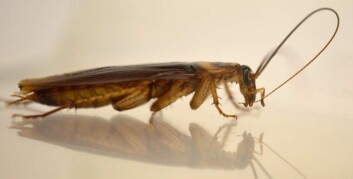 Denne amerikanske kakerlakken renser følehornene sine med munnen. Dermed kan han lukte seg frem til damer som er villige til å lage barn med ham. (Foto: Ayako Wada-Katsumata)