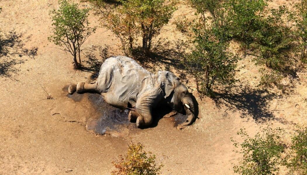 En død elefant som ble funnet i Okavango-deltaet i Botswana.