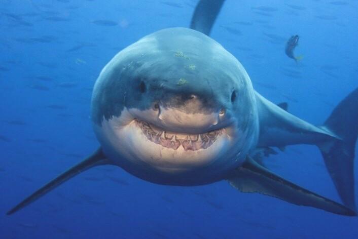 Australske myndigheter har merket over 300 hvithaier, tigerhaier og oksehaier. Haien på bildet er en hvithai. (Foto: Amos Nachoun / Barcroft USA)