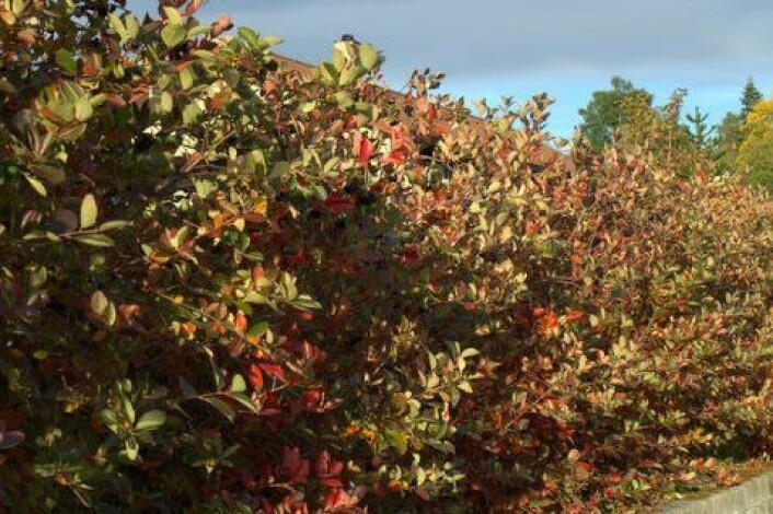 Hekk av svartsurbær tidlig om høsten. (Foto: Susanne Friis Pedersen)