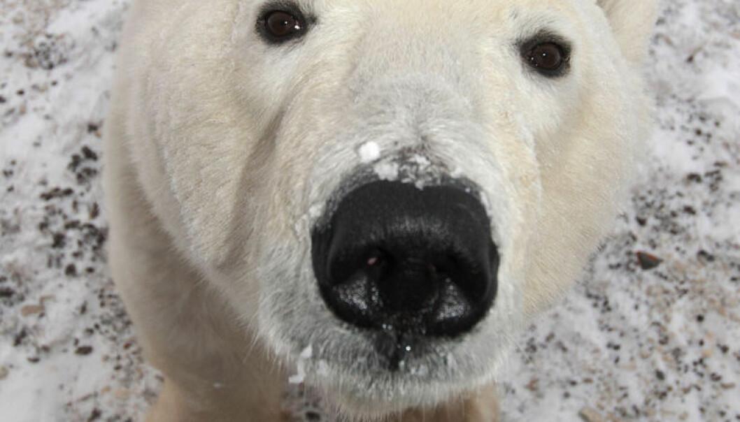 Beskytt brisbjørnen