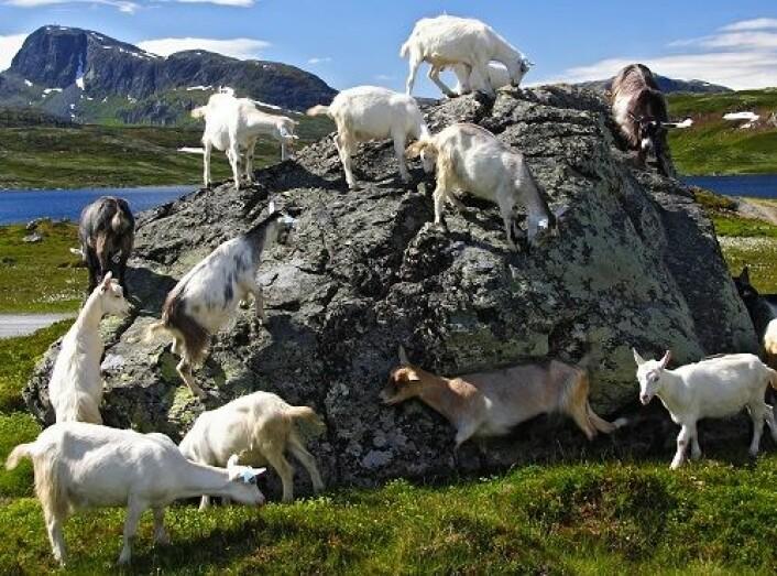 Geiter som beiter i fjellet gir god dyrevelferd. Her fra Jotunheimen. (Foto: Shutterstock)