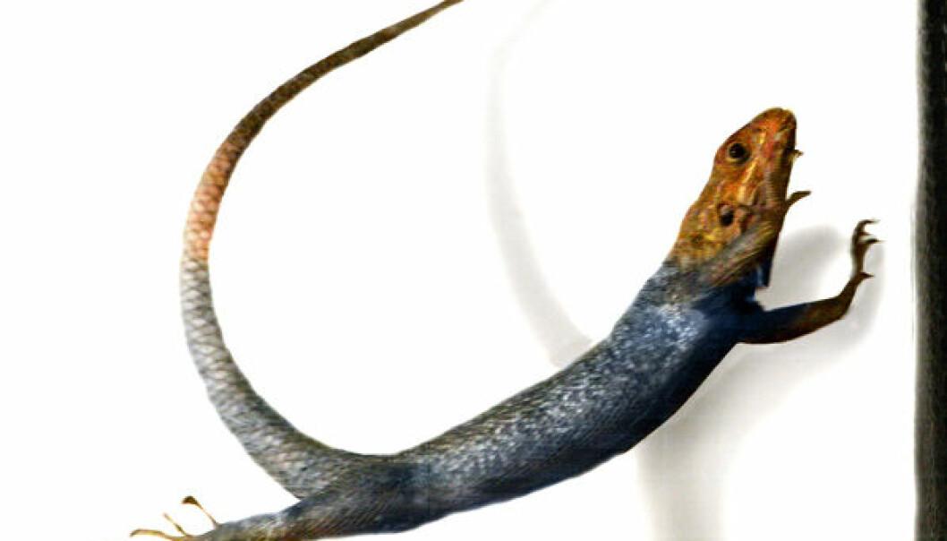 Den afrikanske agamen (Agama agama) bruker halen til å justere stillinga i svevet. T. Libby, E. Chang-Siu og P. Jennings/PolyPEDAL Lab & CiBER/UC Berkeley.