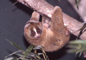 Dovenlorien beveger seg meget tregt og langsomt, derav navnet. Den lever i Asia, fra Bangladesh til Vietnam, Malaysia, Sumatra, Java og Borneo. (Foto: David Haring / Duke Lemur Center/Wikimedia Commons)