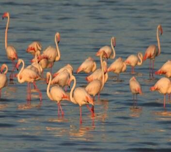 Dvergflamingoer  i Lake Manyara, Tanzania. (Foto: NVH)