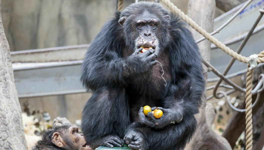 En god nummer to på smarthet - men det er ikke sikkert at kjendissjimpansen Julius (40) er helt fornøyd med å måtte se seg slått av delfinene.