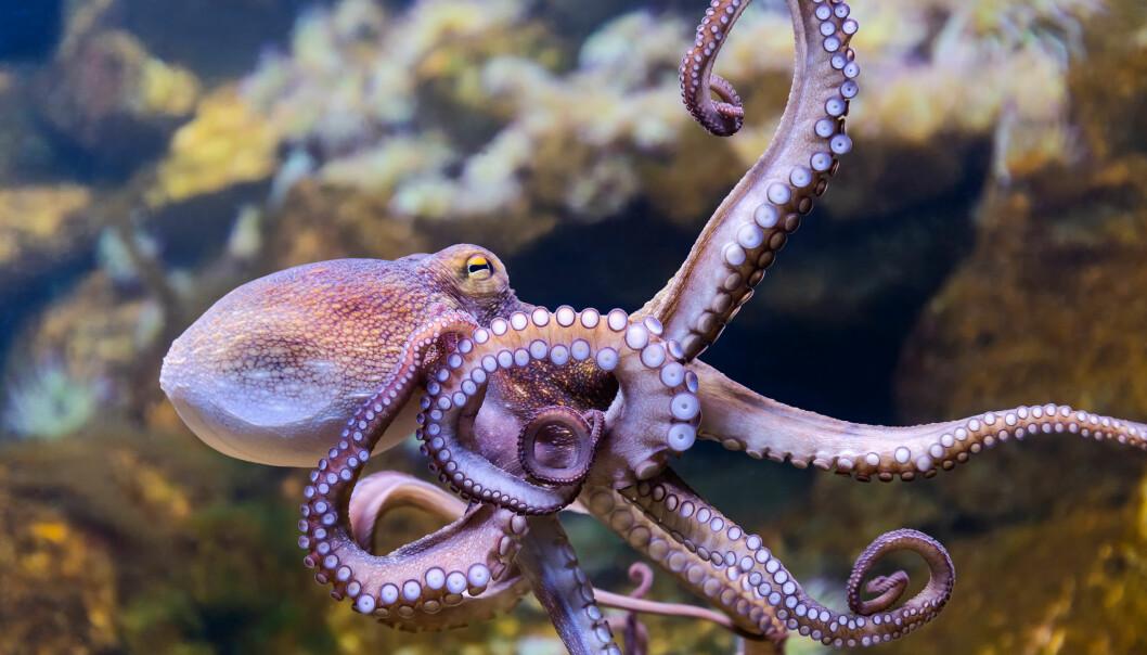 Den åttearmede blekkspruten får ikke plass på Bøckmans topp fem-liste over verdens smarteste dyr; men det er heller ikke langt unna. Med ni hjerner må man kunne forvente såpass.