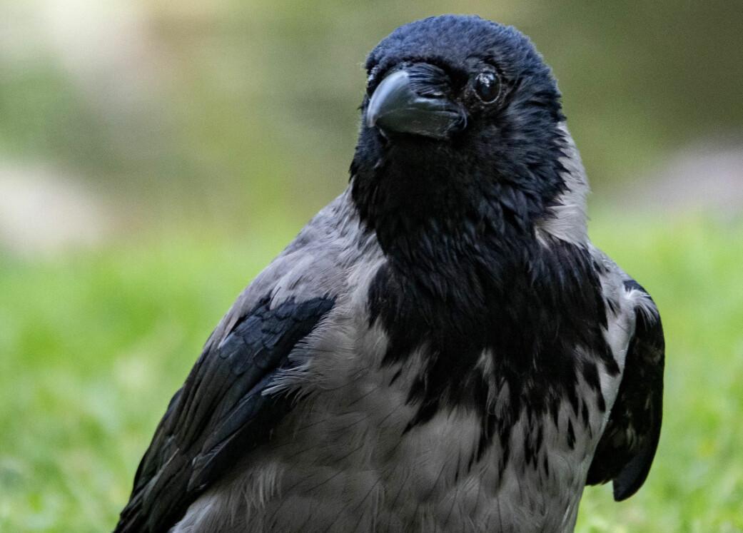 Kråkefuglene kjenner igjen mennesker, er langsinte og lager egne redskaper. Det er blant egenskapene som får den inn på topp fem-lista.