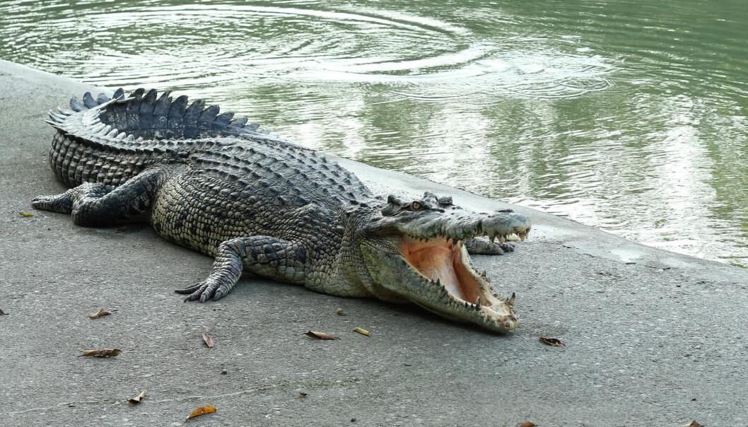Krokodillen regjerer elvebreddene der den befinner seg, og har knapt noen konkurranse. Derfor trenger den heller ikke å være smart, forteller Petter Bøckman.