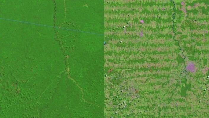 Svært mykje av regnskogen i biletet frå 1975 (venstre) er borte i satelittbiletet frå 2012. (Foto: NASA)