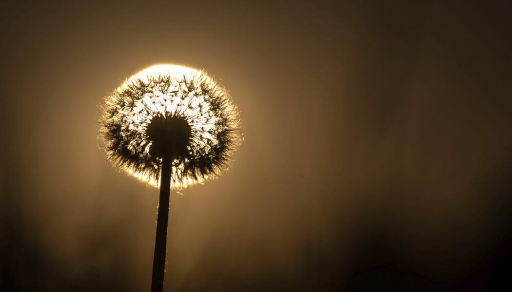 Solen stiger bak en løvetann i Ochsenwang i Tyskland 30. juli. Høye temperaturer og mer tørke vil bli vanligere viser en ny studie i Nature Journal Scientific Report.