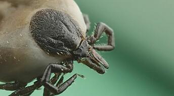 Skogflåtten kan suge blod av mange ulike dyr