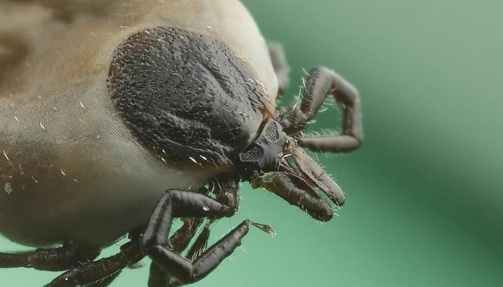 Skogflåtten er den eneste av ni norske flåttarter som jevnlig suger blod av mennesker.
