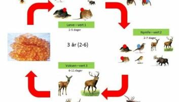 Illustrasjonen viser hvordan de ulike stadiene i flåttens livssyklus suger blod av ulike vertsdyr.