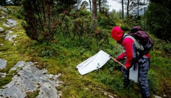 """CEES-forsker Vetle M. Stigum under feltarbeid i Sogn og Fjordane: Her """"flagger"""" han etter flått i vegetasjonen nær bakken."""