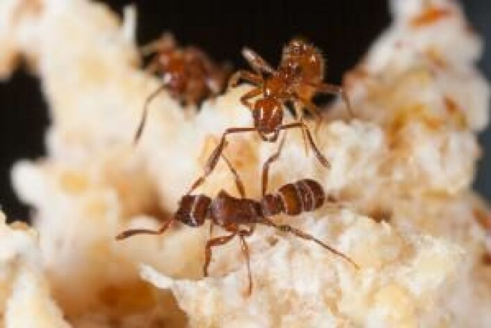 Når man ikke kan forsvare seg selv, kan man jo betale andre for å gjøre det. Det har soppdyrkende maur i Mellom- og Sør-Amerika funnet ut. De inviterer giftige parasittmaur inn i kolonien sin og betaler dem med mat fra sopphagen. Parasittmaurene blir på den måten soppdyrkernes hær. (Foto: Colourbox)
