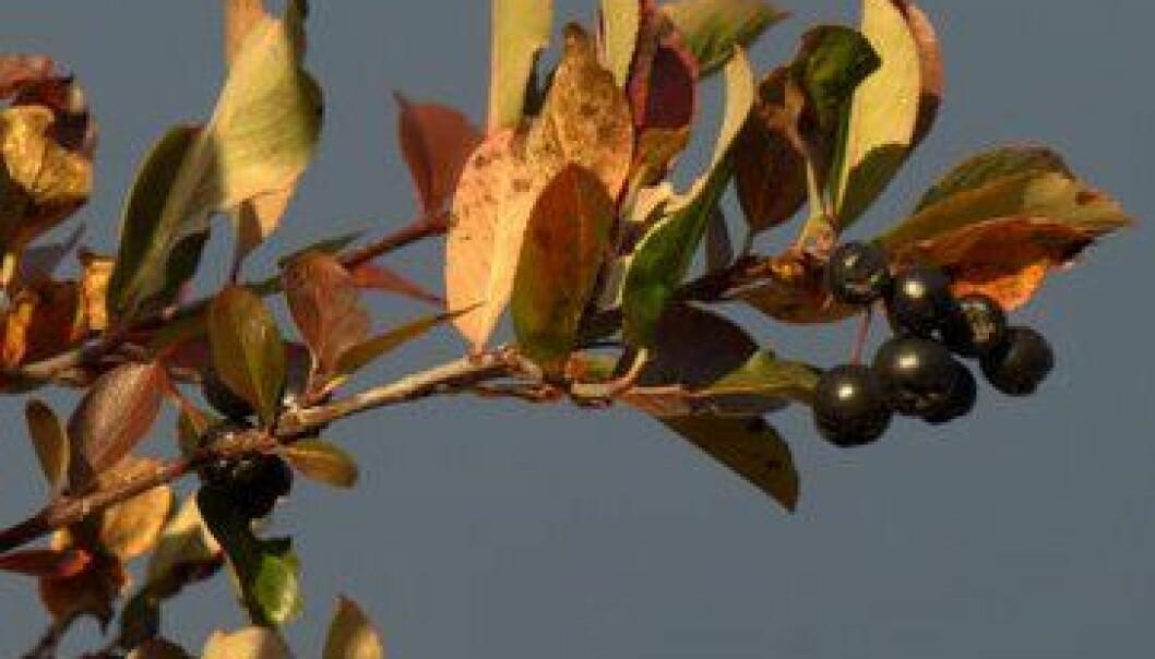 Svartsurbær er modne i september. Susanne Friis Pedersen