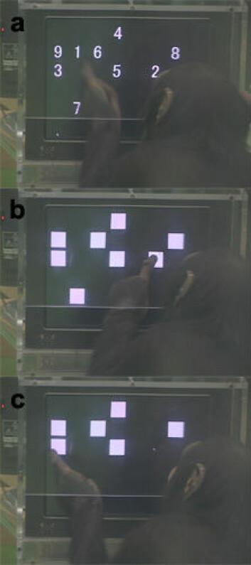 """""""Sjimpanseungen Ayumu får se tall fra 1 til 9 på skjermen. Deretter blir tallene erstattet av blanke felt, og den fem år gamle sjimpansen må huske hvor tallene på skjermen var, og telle seg oppover i riktig rekkefølge. Foto: Tesuro Matsuzawa, University of Kyoto."""""""