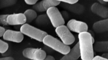 B. cereus-stammen NVH 0075/95 produserer Nhe-toksin og er brukt i dette forskningsprosjektet. (Foto: Danh Phung)
