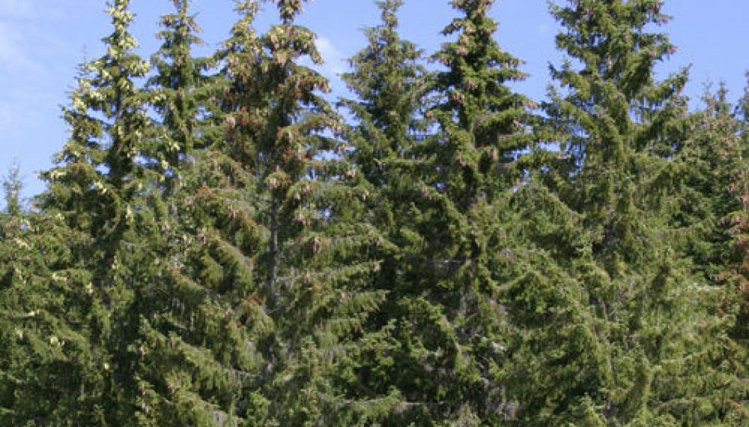 Grana i norske skoger har kommet østfra. (Foto: John Y. Larsson)