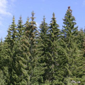 Grana i norske skoger har kommet østfra. (Foto: John Y. Larsson, Skog og landskap)