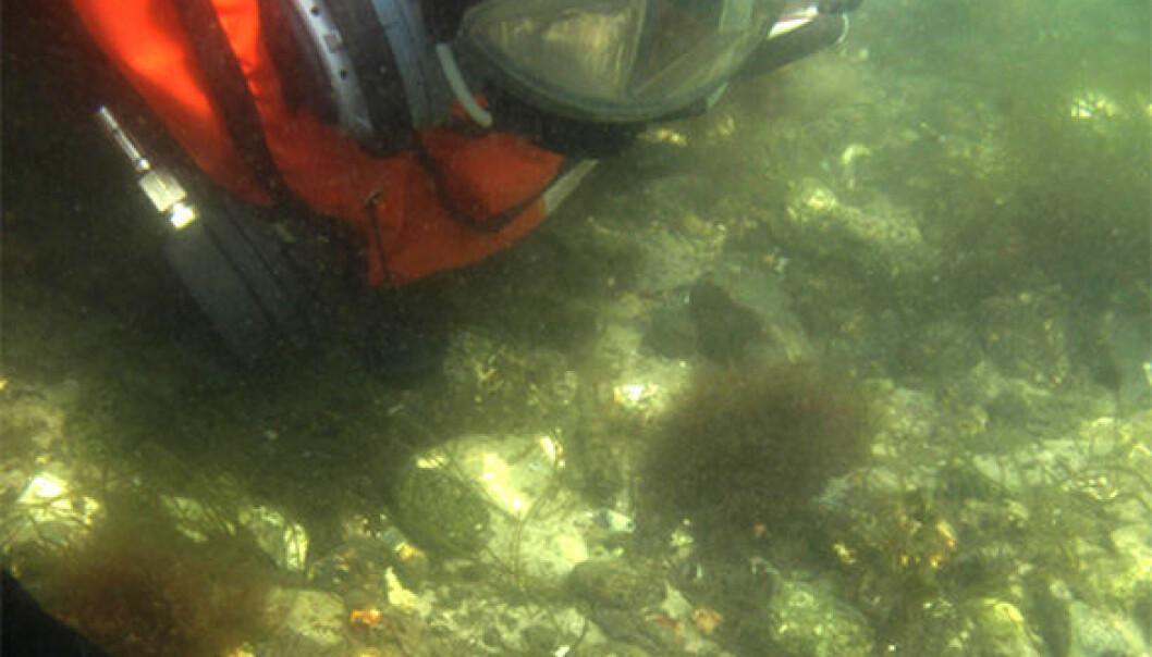 Arkeologene fisket opp åren iført dykkerutstyr. Claus Skriver