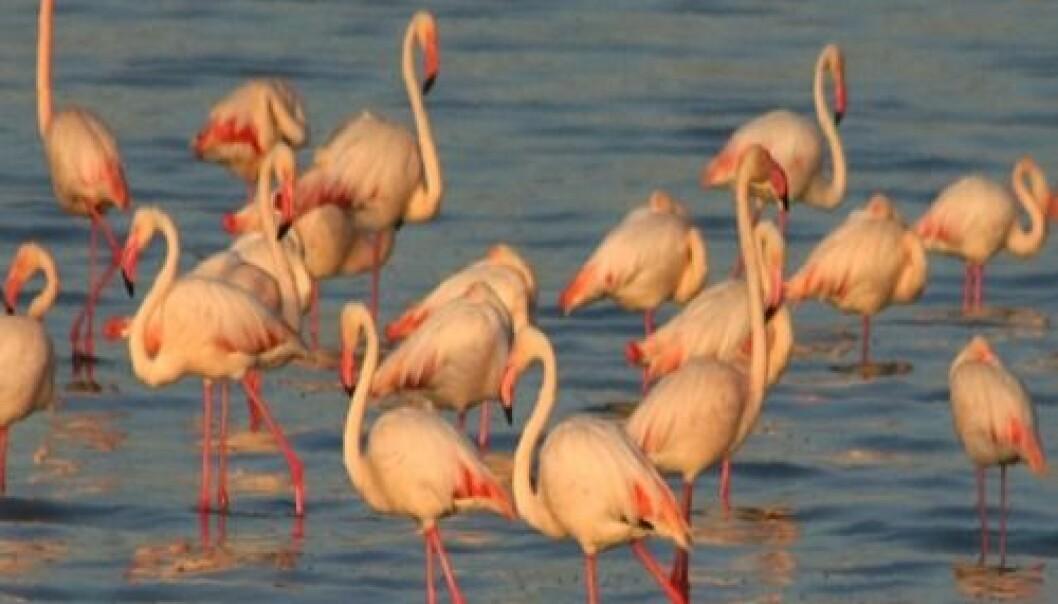 Dvergflamingoer  i Lake Manyara, Tanzania. NVH