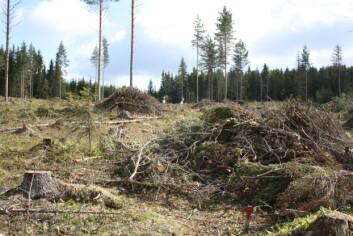 Heltrehogst, greiner og topper (grot) samles i hauger der den ligger en bestemt periode før den fjernes. (Foto: Kjersti Holt Hanssen, Skog og landskap)