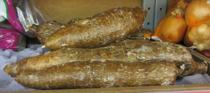 Forskerne har arbeidet med de subtropiske plantene durra og kassava. Slike kassavaknoller er svært rike på stivelse. (Foto: Wikimedia commons)
