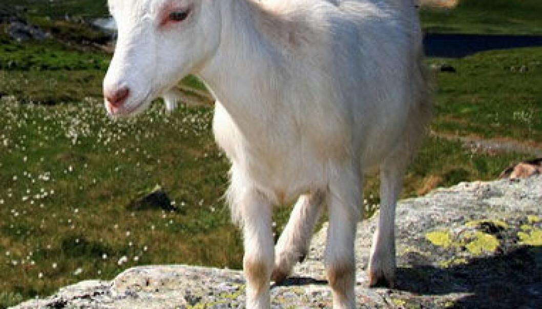 Norske geiter har det bedre enn før. Kvaliteten på melka blir bedre og geita melker lenger. (Foto: Shutterstock)