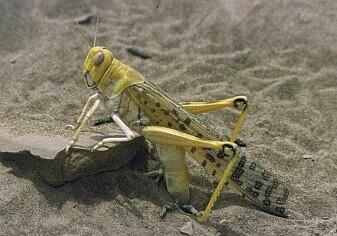 Her er en ørkengresshoppe i vandringsfasen. Det er de som har gjort stor skade på åkere i år.