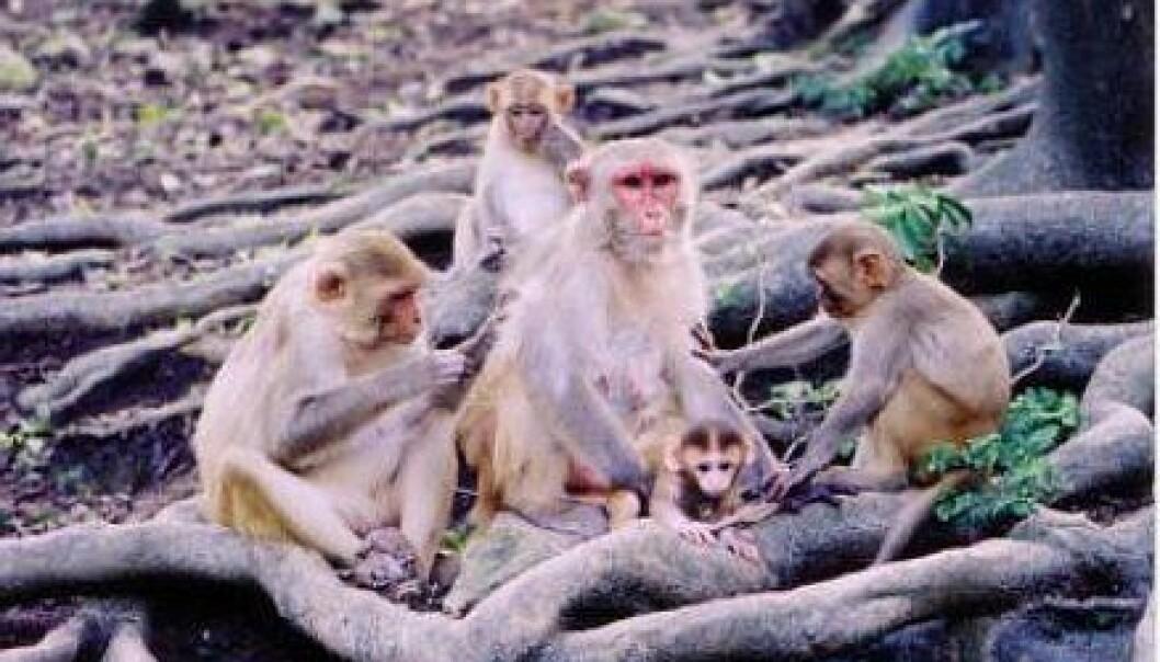 Snakker aper babyspråk?