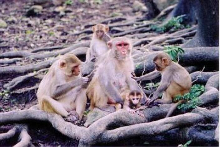 """""""Hunnene blant rhesusapene bruker stemmen på en spesiell måte når de snakker med de yngste apene."""""""